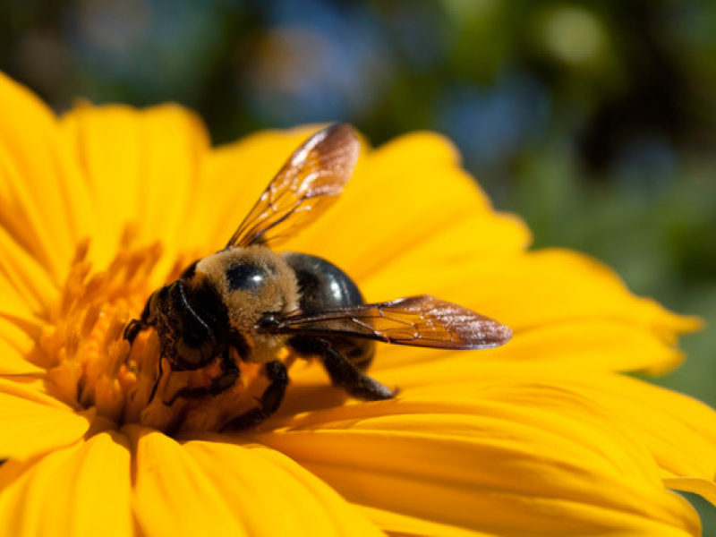 Help Save the Honey Bees in Your Backyard