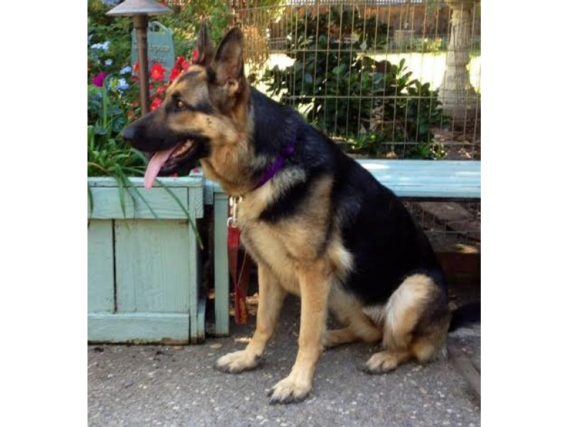 Meet and greet and maybe even adopt a german shepherd rescue in meet and greet and maybe even adopt a german shepherd rescue in napa m4hsunfo