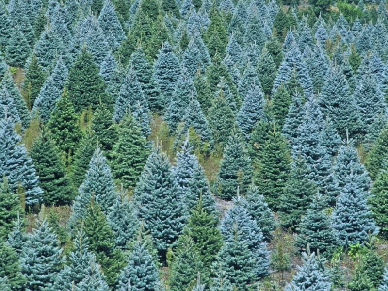 Local Christmas Tree Farms