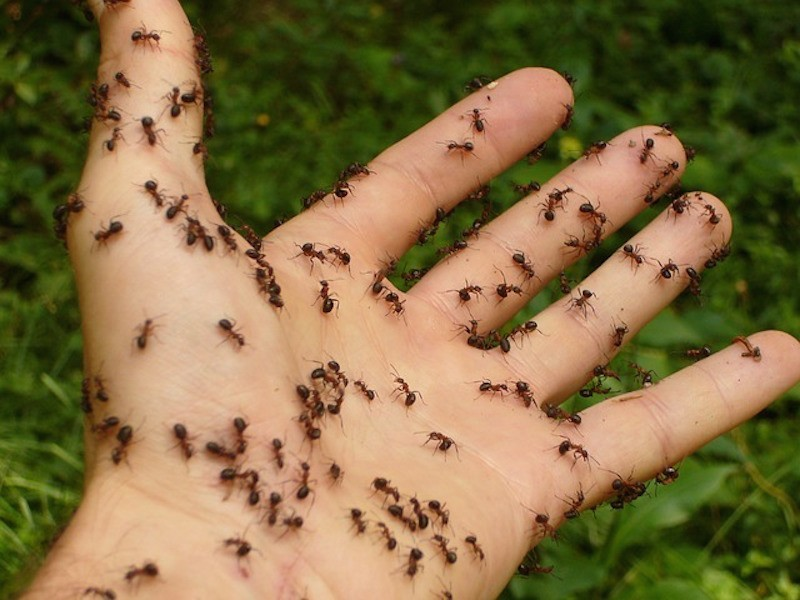 Need a Hand with Your Ant Problem? Here\'s Some Advice   Darien, IL Patch