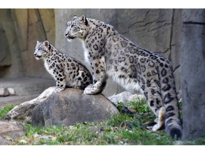 Snow Leopard Cubs Make Public Debut At Brookfield Zoo