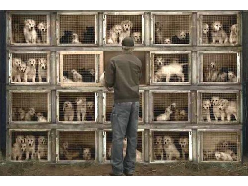 Campaign To Ban The Sale Of Puppy Mill Dogs Stoneham Ma Patch