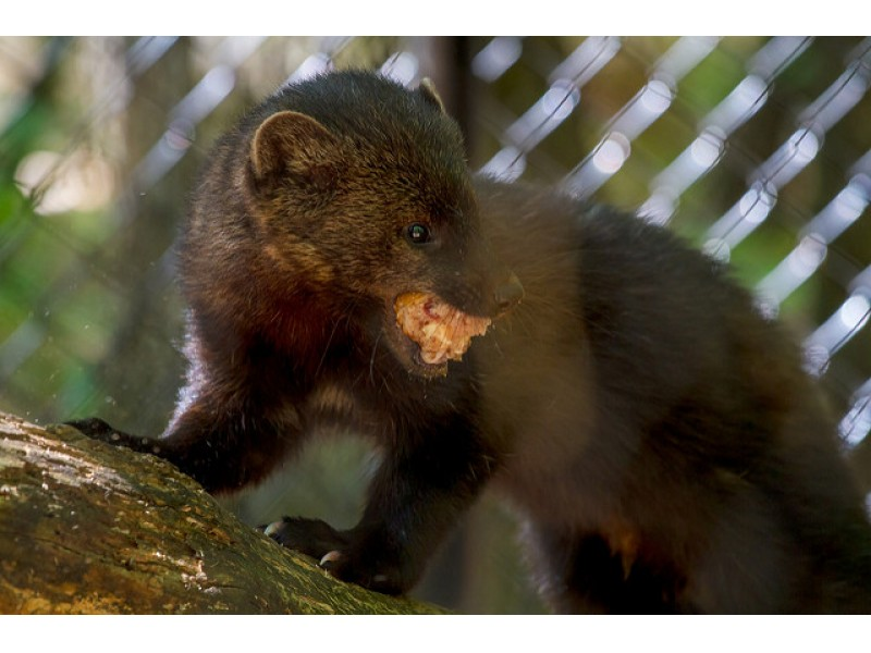 Guilford Police Warn Pet Owners of Fisher Cats | Guilford, CT Patch