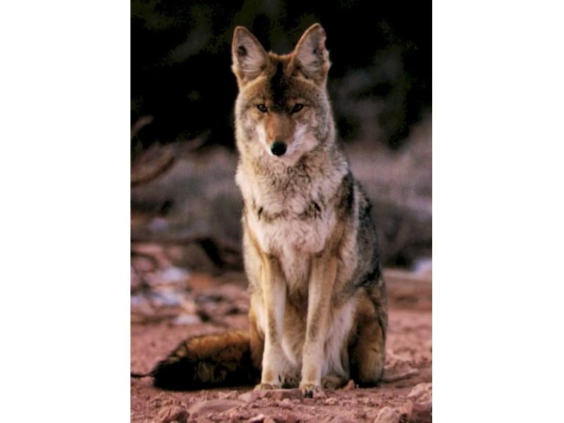 police report coyote sightings in deerfield