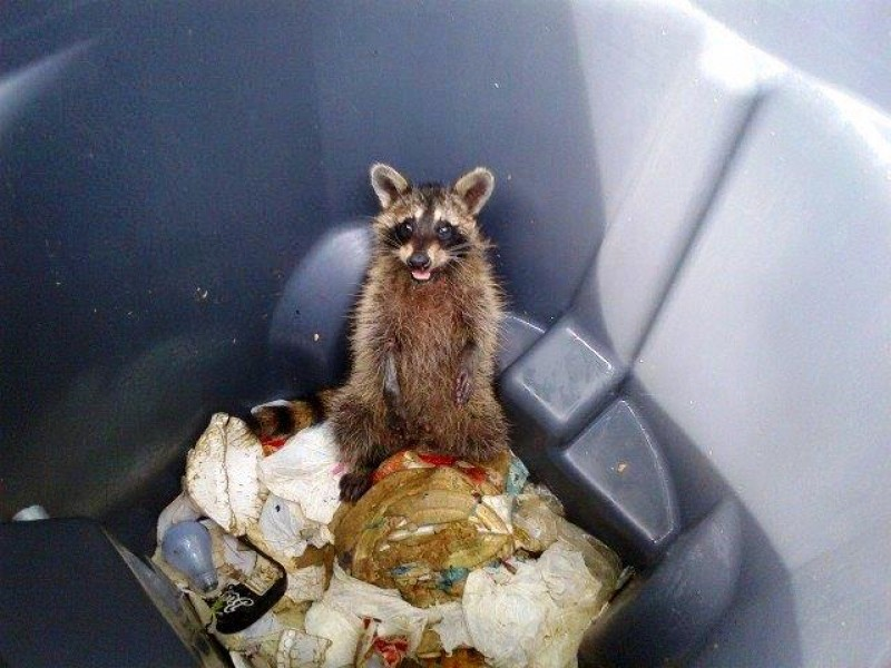 Trapped Does That Raccoon Have Rabies Here Are Eight Ways To Tell Burke Va Patch Florida Animal Control Does That Raccoon Have Rabies Here Are Eight Ways To Tell Burke