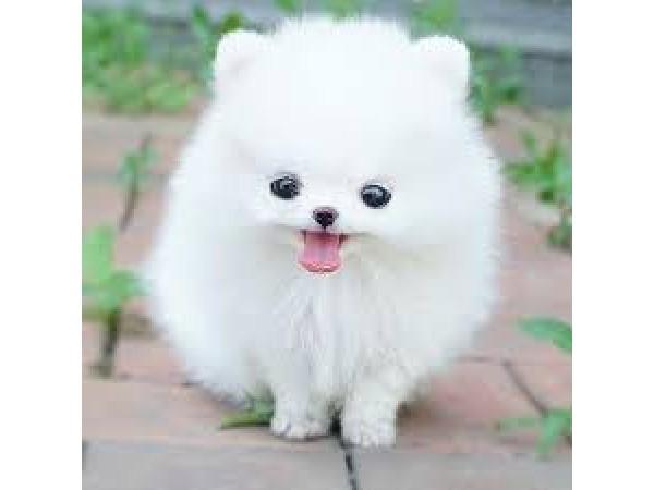 Small Dogs That Look Like Siberian Huskies