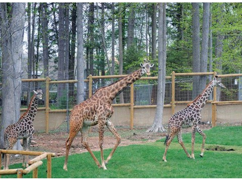 Turtle Back Zoo Opens 7m Giraffe Exhibit In Essex County