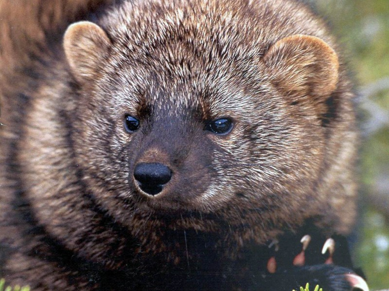 New England Fisher Cats | Fisher Cat Screech