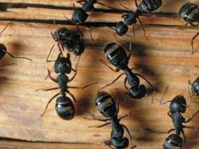 Invasion of the Pharaoh Ant | Woodbury, MN Patch