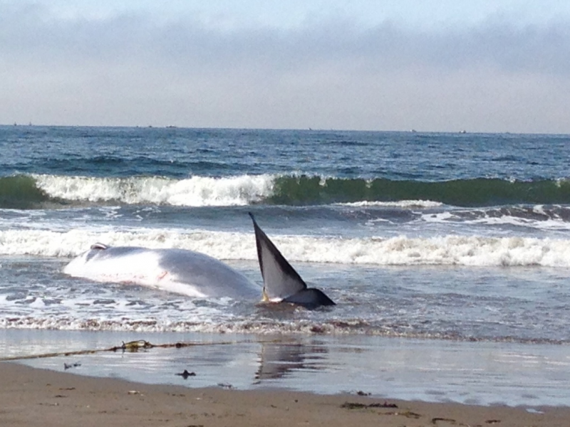 40 Foot Whale S At Stinson Beach