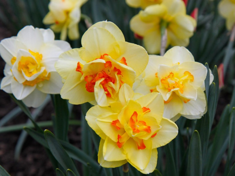 Plant bulbs now for spring flowers northampton pa patch plant bulbs now for spring flowers 0 mightylinksfo Choice Image