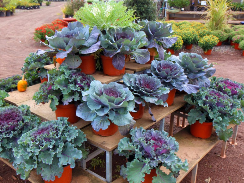 plant kale mums for fall garden colors 0 - Fall Garden Plants