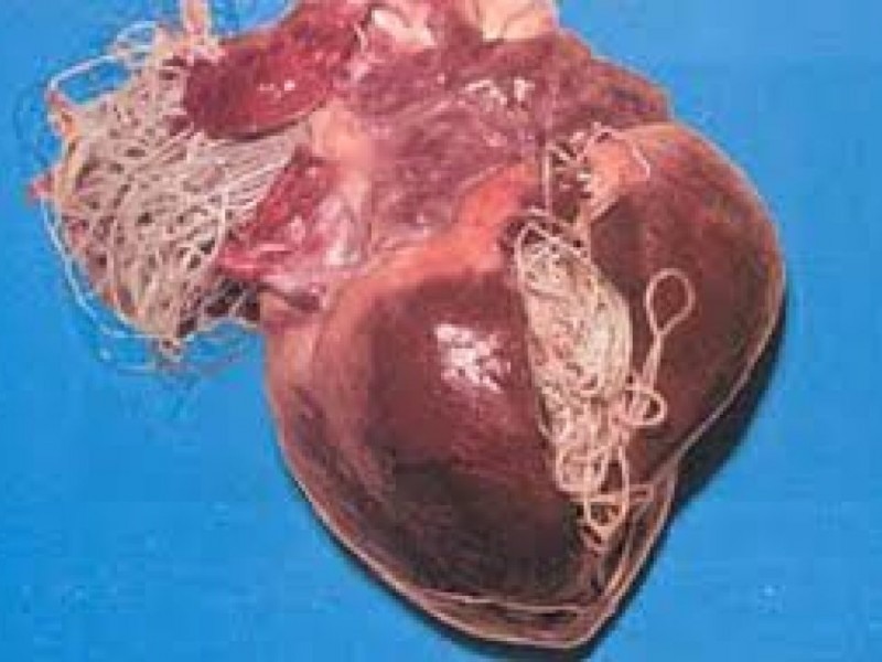 Why Your Dog Should Take Monthly Heartworm Prevention Medication ...