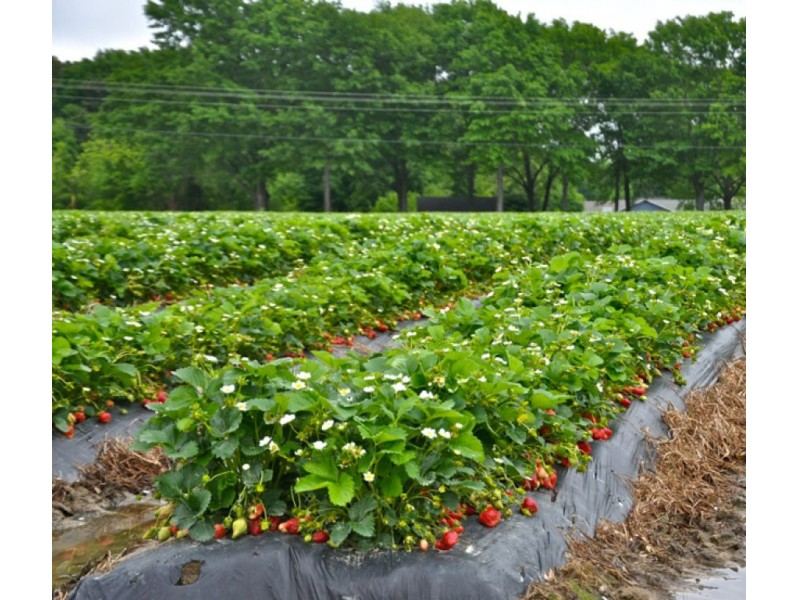 Washington Farms Strawberry Fields In Loganville Are Back
