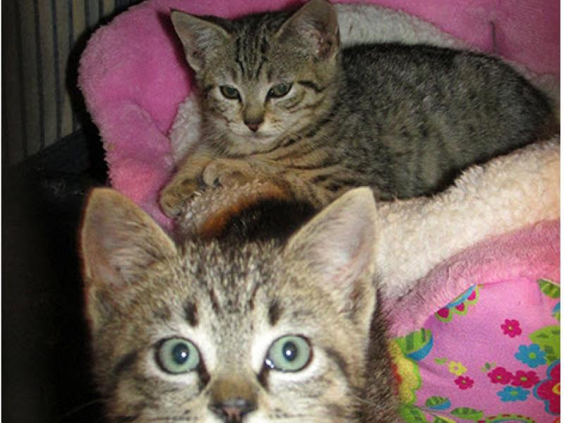lansing cat adoption