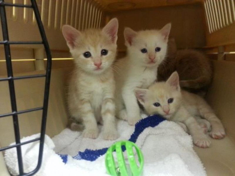 Spayed And Neutered Cats For Sale