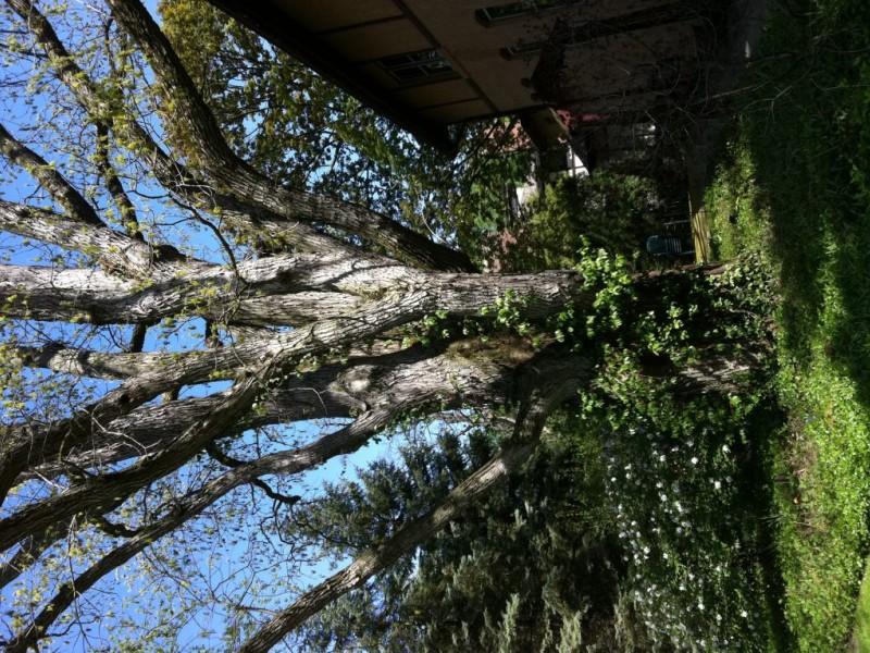 600-Year-Old Tree Highlights Evanston Garden Walk