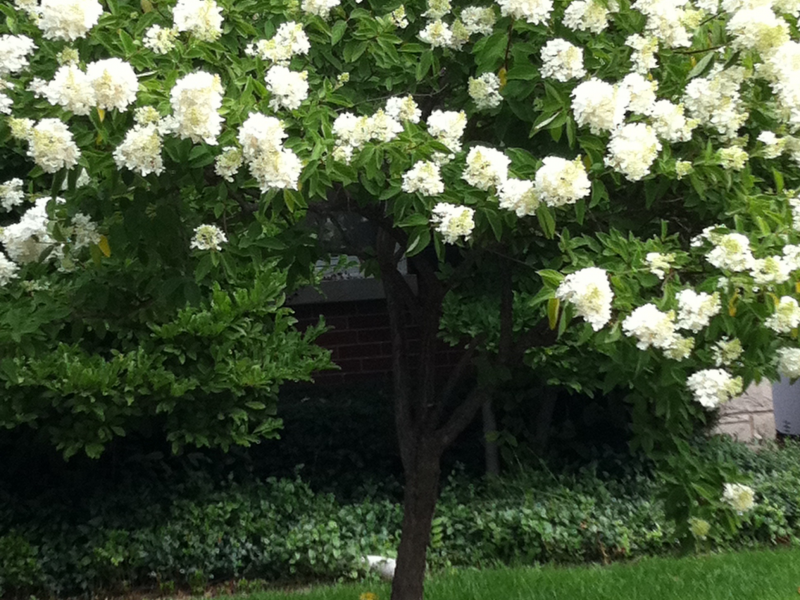 Great tree blooming in august good for small yards evanston il patch great tree blooming in august good for small yards mightylinksfo