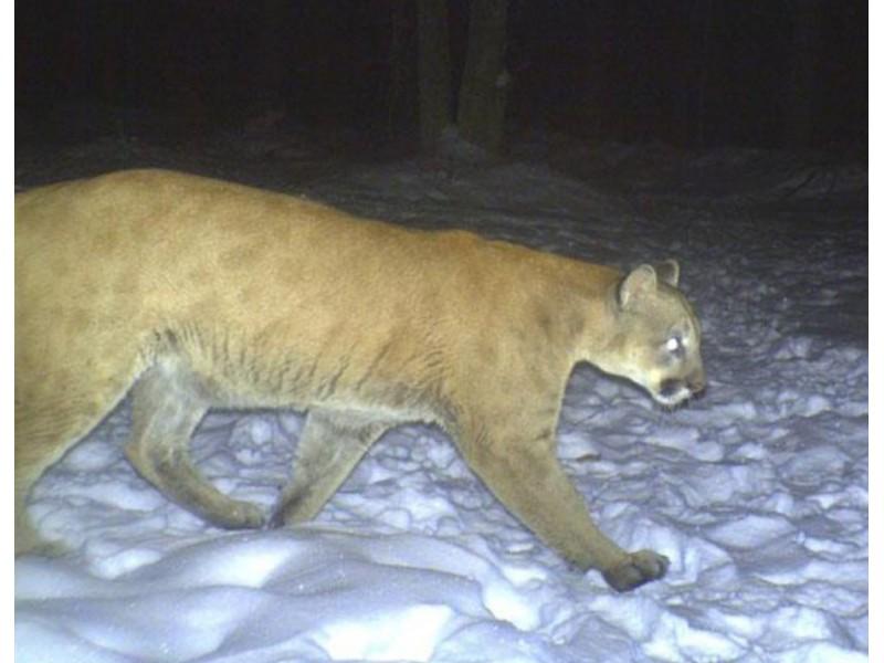 greenwich cougar