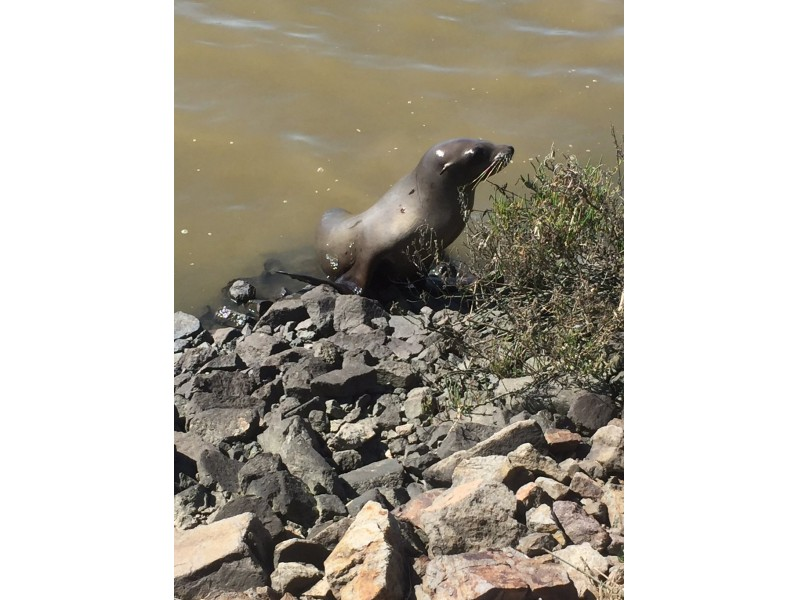 Wayward Highway 37 Sea Lion Taken To Veterinary Hospital Sonoma Valley Ca Patch