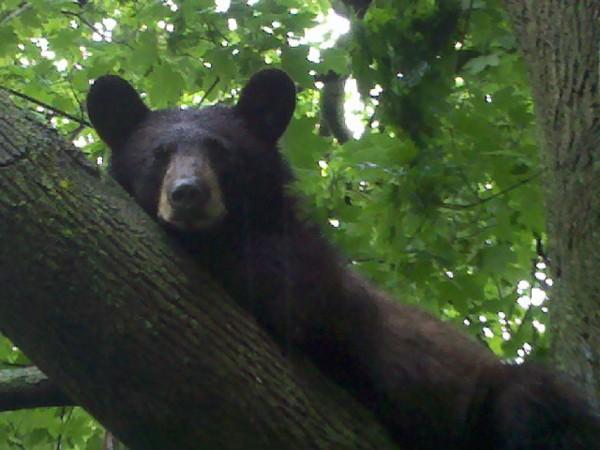 Black Bear Captured in Short Hills Yard - Millburn, NJ Patch
