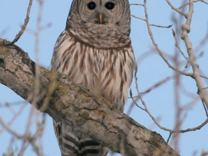 Barred Owl Sighting East Greenwich Ri Patch