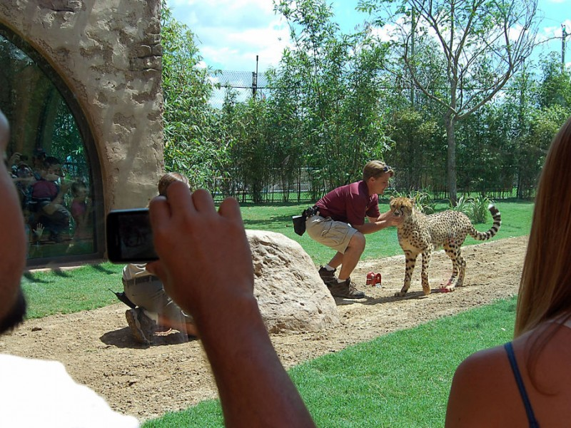 Cheetah Cub And Puppy Are Best Friends At Busch Gardens   Temple ...