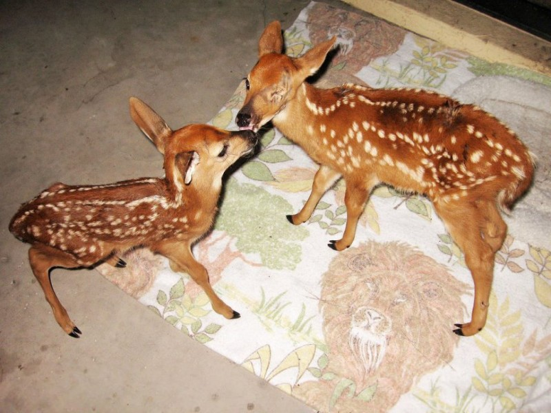 Three Week Old Deer Cares For Newborn Fawn Palm Harbor