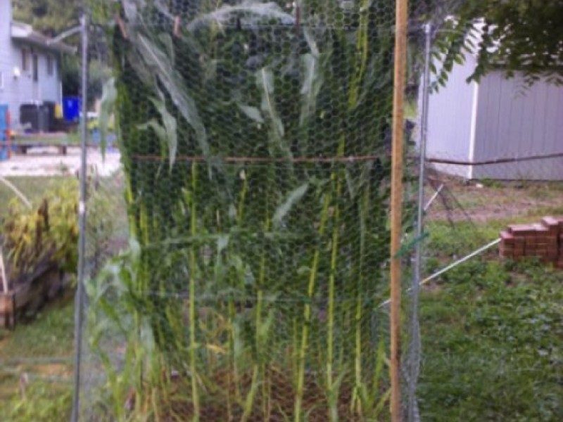 BLOG: How to Grow Corn the Square Foot Gardening Way ...