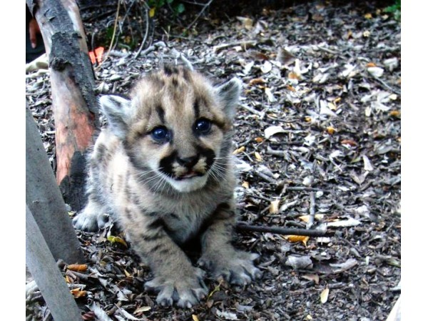 Mountain Lion 101 - Pacific Palisades, CA Patch