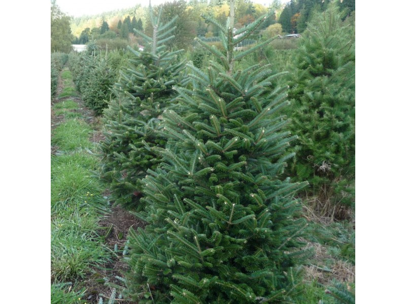 Sammamish Valley Farm A Local Christmas Tree Tradition