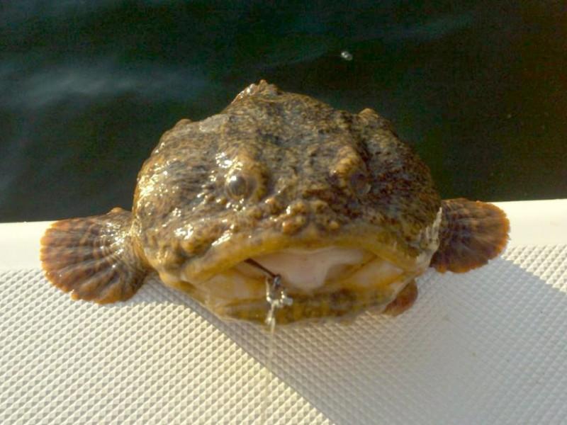 toad fish - photo #38