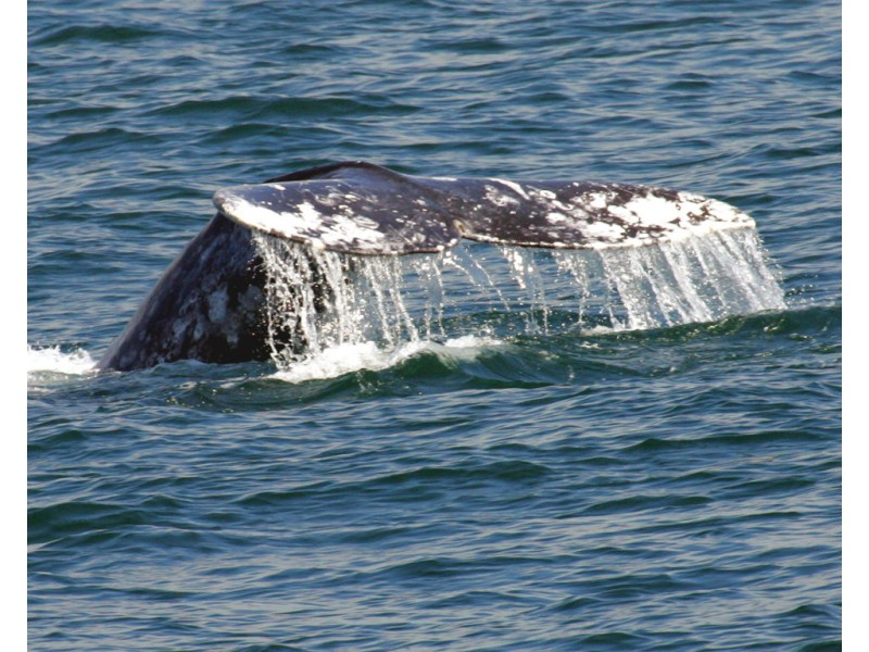 More Whales Spotted In Sf Bay Coast Guard Alerting