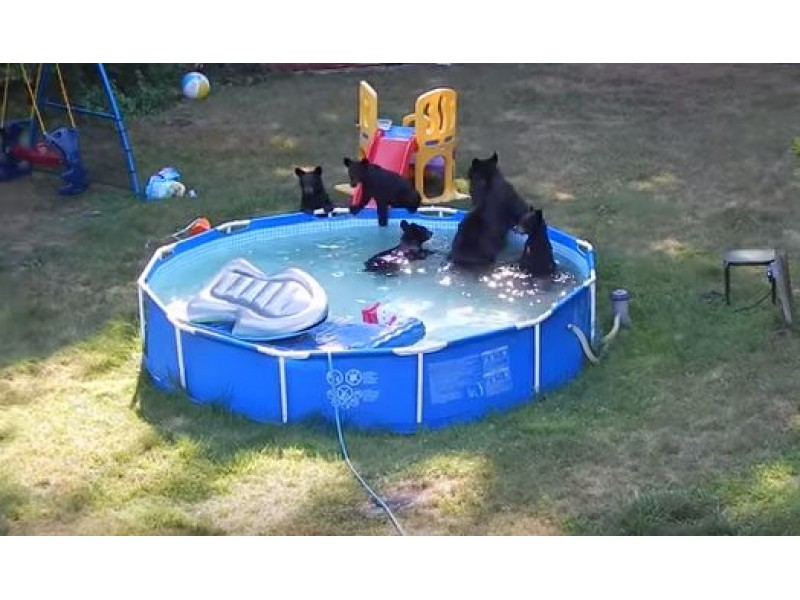 WATCH: Mama Bear And Cubs Go Swimming In Backyard Pool