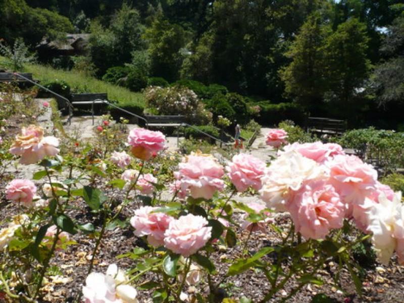 cheap thrills tennis practice at the rose garden 0 - Berkeley Rose Garden