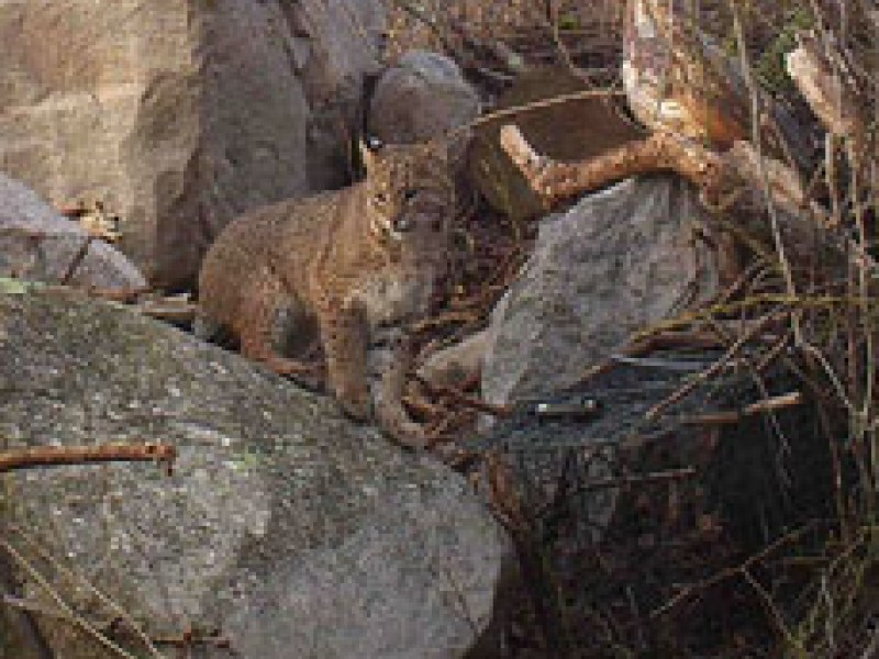 Researchers tracking rhode island bobcats narragansett - Restaurants in garden city cranston ri ...