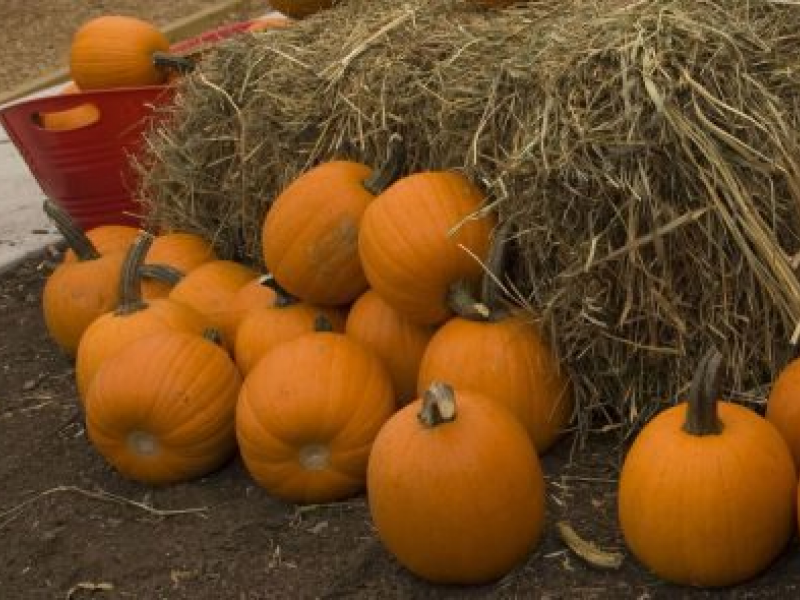 Pumpkin patches, corn mazes in the chicago area | orland park, il.