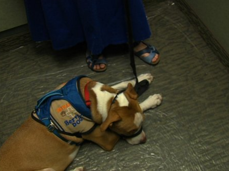 Impostor Service Dogs On The Rise In San Diego Oceanside Ca Patch