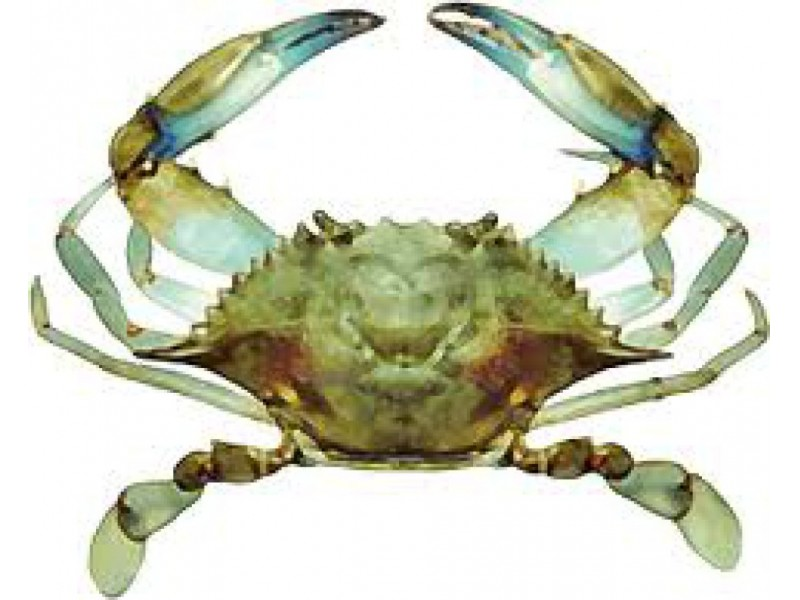 It 39 s blue crab fishing time in local tidal waters and for Blue crab fishing