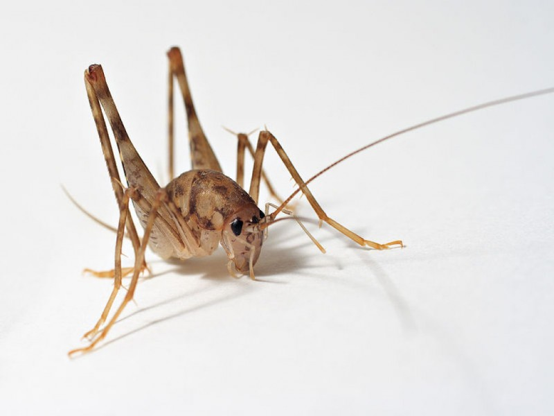 . Stop Camel Crickets From Invading Your Home   Malverne  NY Patch