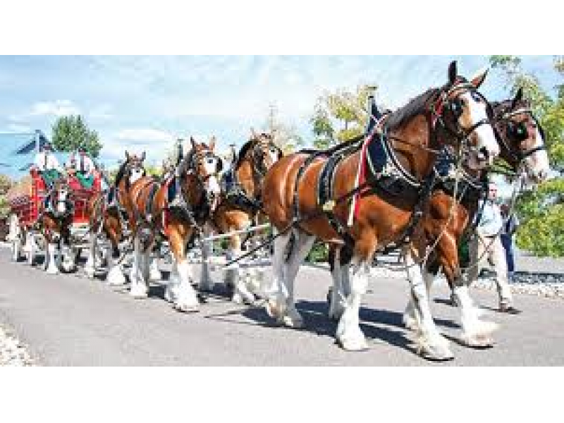Anheuser Busch Merrimack Brewery Hosts Clydesdales Cool