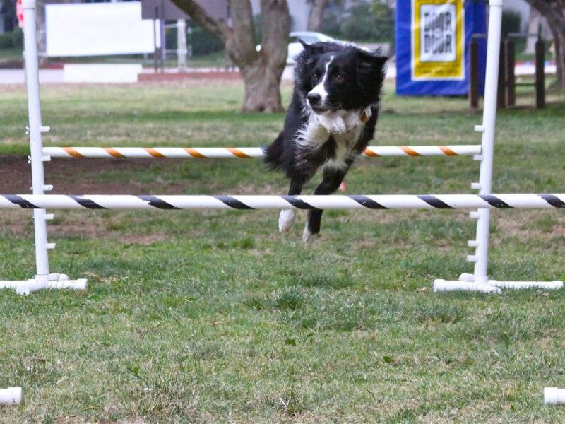 Dog Agility Classes Draw Pooches To The Park Pacific Palisades Ca Patch