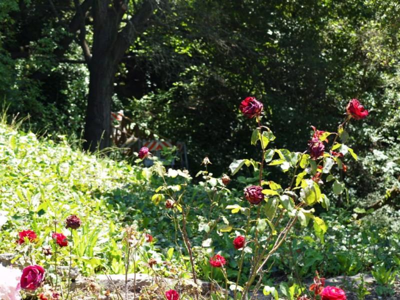 Berkeley Rose Garden Needs a Little Help from Its Friends | Berkeley ...