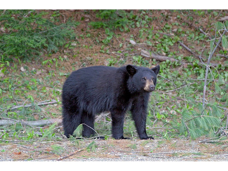 Bears Make Rounds In Central Maryland Suburbs Owings