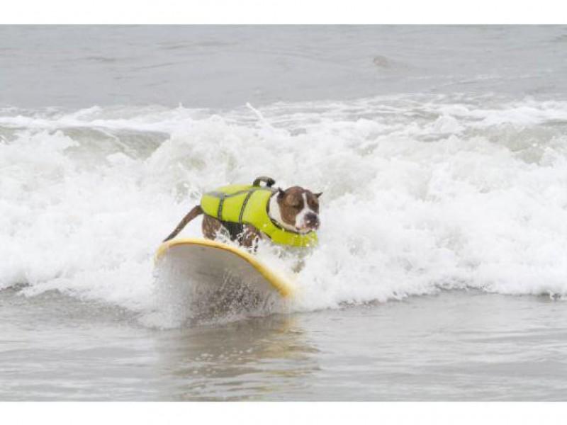 Photos Laguna Niguel Surfing Pitbull Is Top Dog Earns