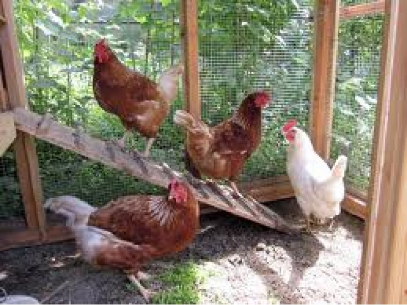 Raising Backyard Chickens | Northport, NY Patch Raising Chickens