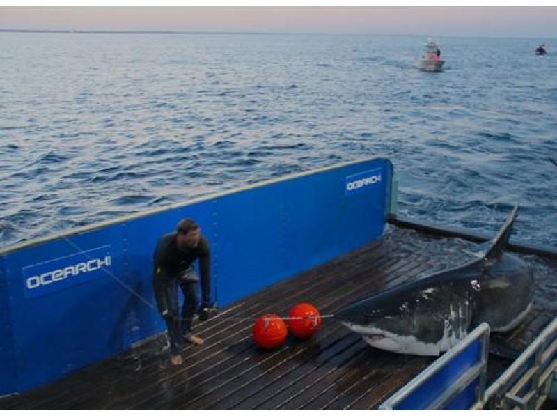 3 400 Pound Great White Shark Visiting Long Island Babylon Village Ny Patch