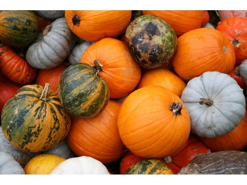 Pumpkin Picking North Fork Long Island