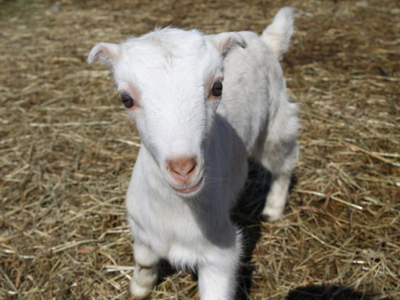 viewfinder simmons farm baby goats baaask in spring sunshine