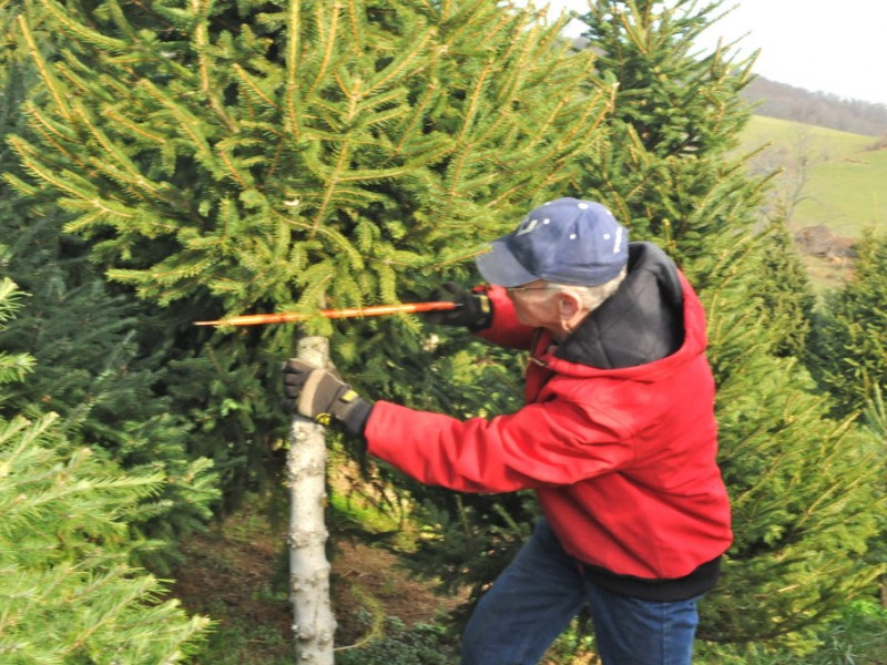 Find And Cut Down Your Own Perfect Christmas Tree Dallas GA Patch - Christmas Trees To Cut Down